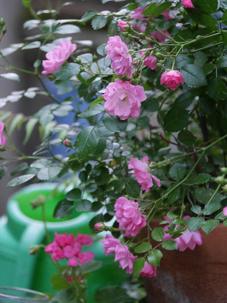 花霞(木立バラ)の花が咲いた。2020年-001.jpg