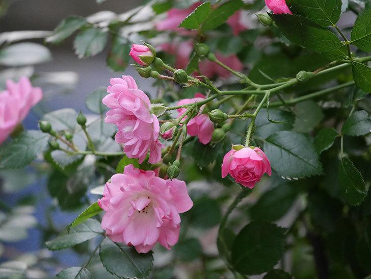 花霞(木立バラ)の花が咲いた。2020年-002.jpg