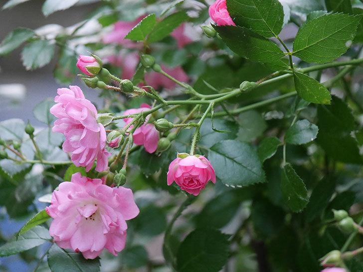 花霞(木立バラ)の花が咲いた。2020年-003.jpg