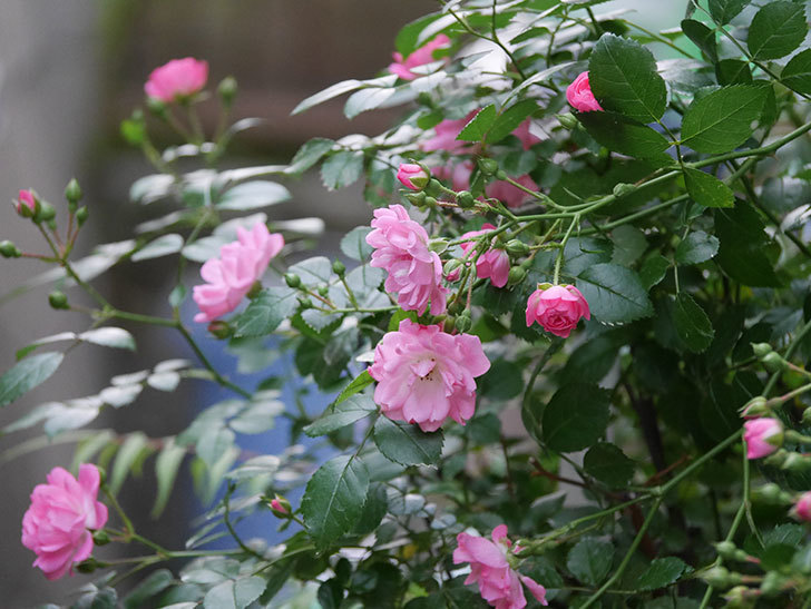 花霞(木立バラ)の花が咲いた。2020年-005.jpg