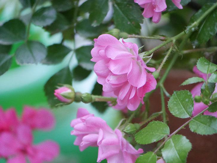 花霞(木立バラ)の花が咲いた。2020年-006.jpg