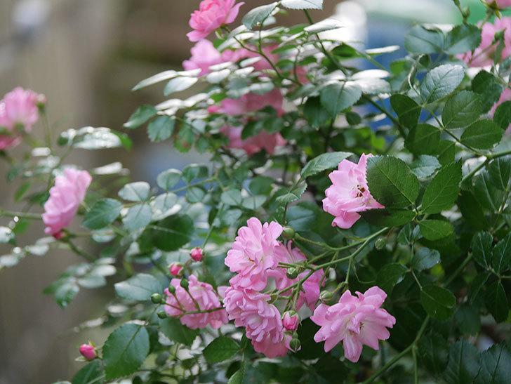 花霞(木立バラ)の花が咲いた。2020年-007.jpg