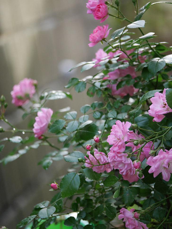 花霞(木立バラ)の花が咲いた。2020年-008.jpg