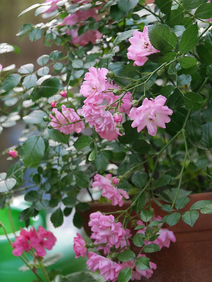 花霞(木立バラ)の花が咲いた。2020年-009.jpg