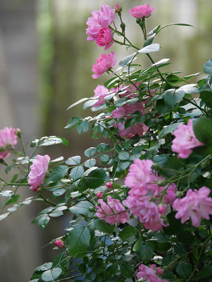 花霞(木立バラ)の花が咲いた。2020年-010.jpg