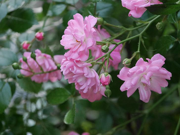 花霞(木立バラ)の花が咲いた。2020年-011.jpg