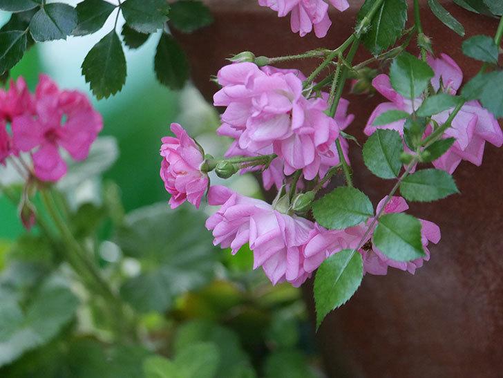 花霞(木立バラ)の花が咲いた。2020年-012.jpg