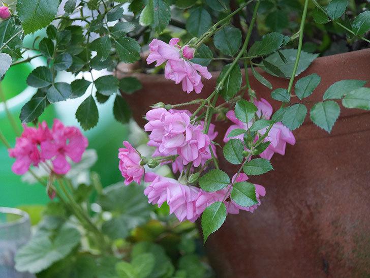 花霞(木立バラ)の花が咲いた。2020年-013.jpg