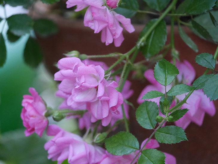 花霞(木立バラ)の花が咲いた。2020年-014.jpg