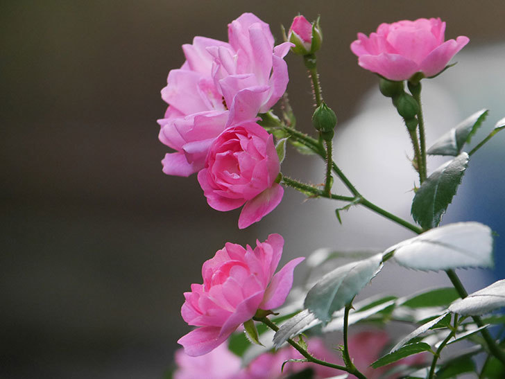 花霞(木立バラ)の花が咲いた。2020年-015.jpg