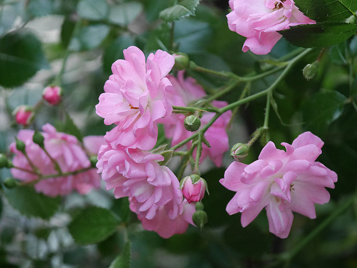 花霞(木立バラ)の花が咲いた。2020年-016.jpg