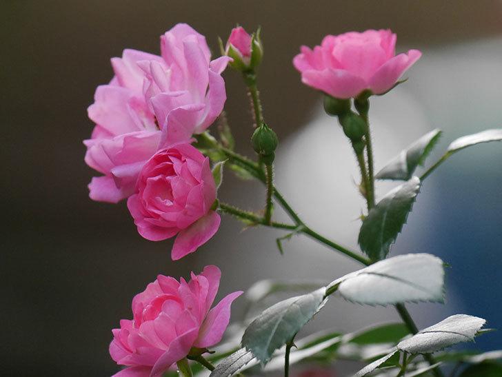 花霞(木立バラ)の花が咲いた。2020年-017.jpg