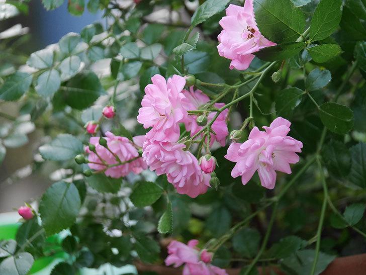 花霞(木立バラ)の花が咲いた。2020年-018.jpg