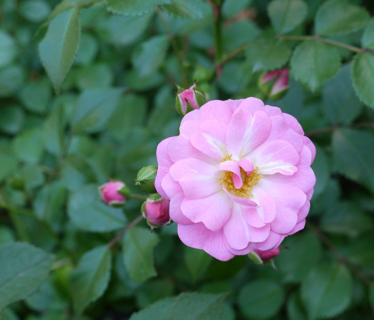 花霞(木立バラ)の花が咲きだした。2017年-1.jpg