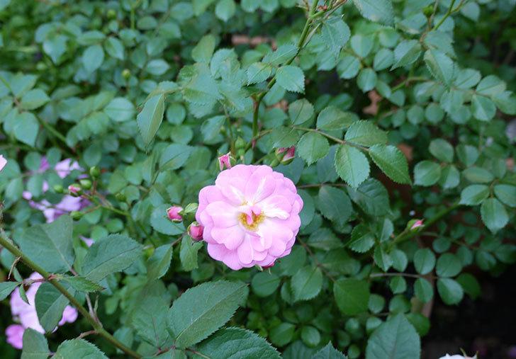 花霞(木立バラ)の花が咲きだした。2017年-2.jpg