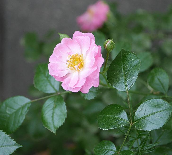 花霞(木立バラ)の花が咲きだした。2019年-1.jpg