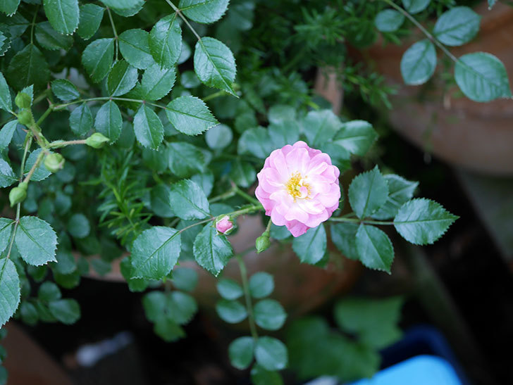 花霞(木立バラ)の花が咲きだした。2019年-2.jpg