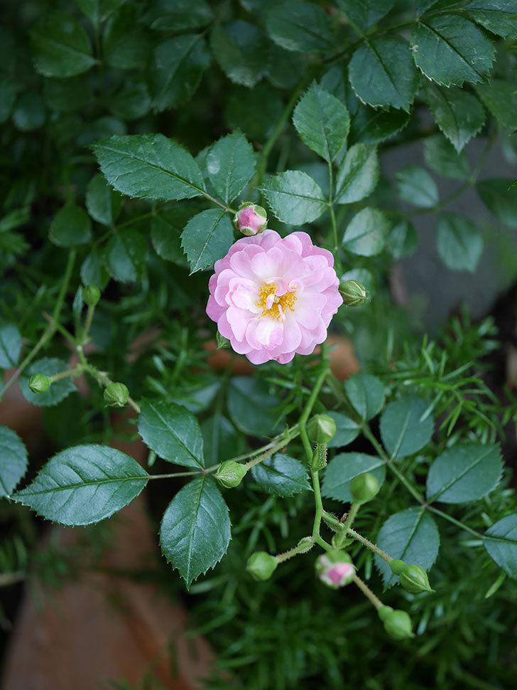 花霞(木立バラ)の花が咲きだした。2019年-3.jpg