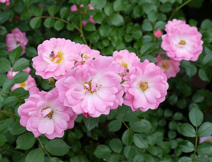 花霞(木立バラ)の花が増えてきた。2017年-1.jpg