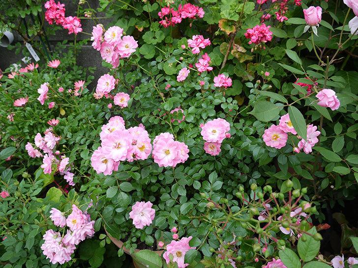花霞(木立バラ)の花が増えてきた。2017年-2.jpg