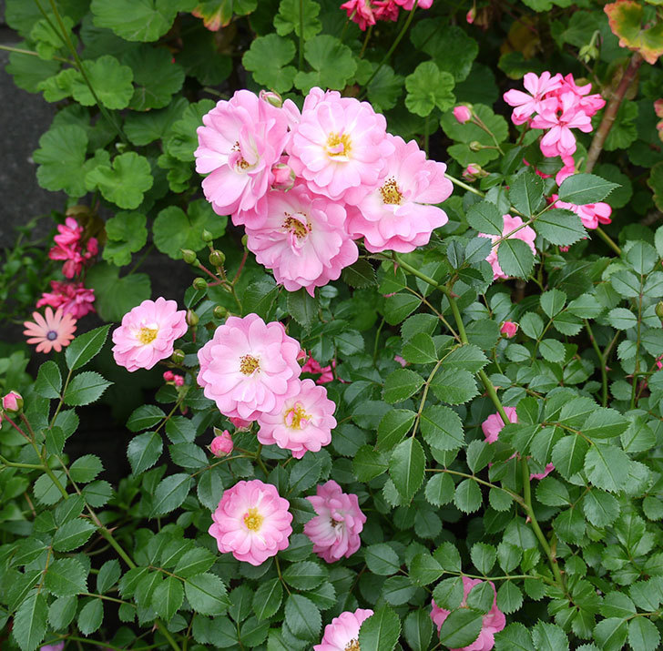 花霞(木立バラ)の花が増えてきた。2017年-3.jpg