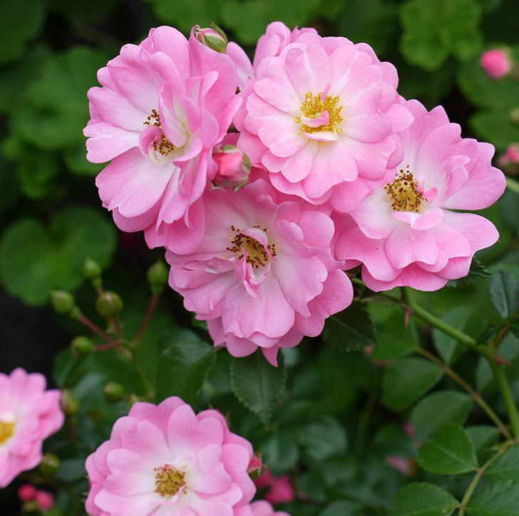 花霞(木立バラ)の花が増えてきた。2017年-4.jpg
