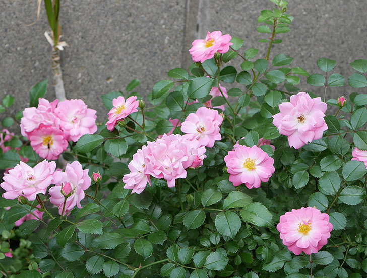 花霞(木立バラ)の花が増えてきた。2018年-2.jpg