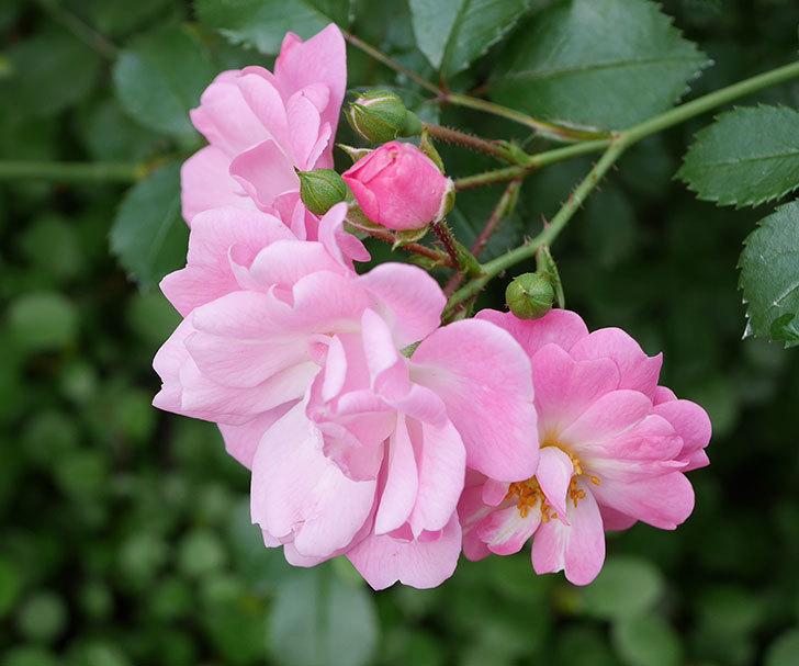 花霞(木立バラ)の花が増えてきた。2018年-3.jpg