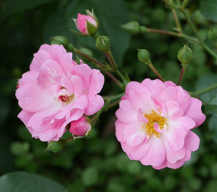 花霞(木立バラ)の花が増えてきた。2018年-4.jpg