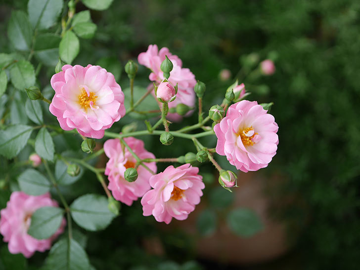 花霞(木立バラ)の花が増えて来た。2019年-1.jpg