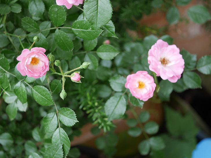 花霞(木立バラ)の花が増えて来た。2019年-4.jpg