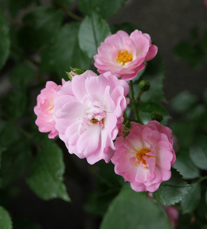 花霞(木立バラ)の花が増えて来た。2019年-5.jpg