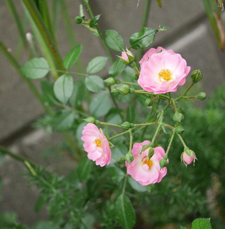 花霞(木立バラ)の花が増えて来た。2019年-6.jpg