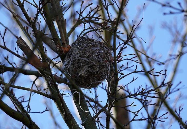 葉が落ちたモミジにメジロの巣が2個ある事に気がついた。1.jpg