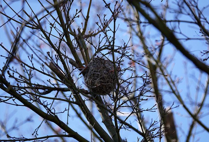 葉が落ちたモミジにメジロの巣が2個ある事に気がついた。2.jpg