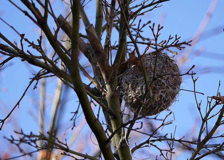 葉が落ちたモミジにメジロの巣が2個ある事に気がついた。3.jpg