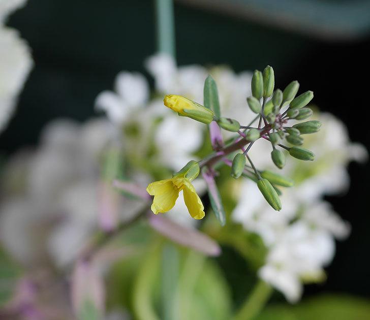葉牡丹(ハボタン)の花が咲いた。2020年-1.jpg
