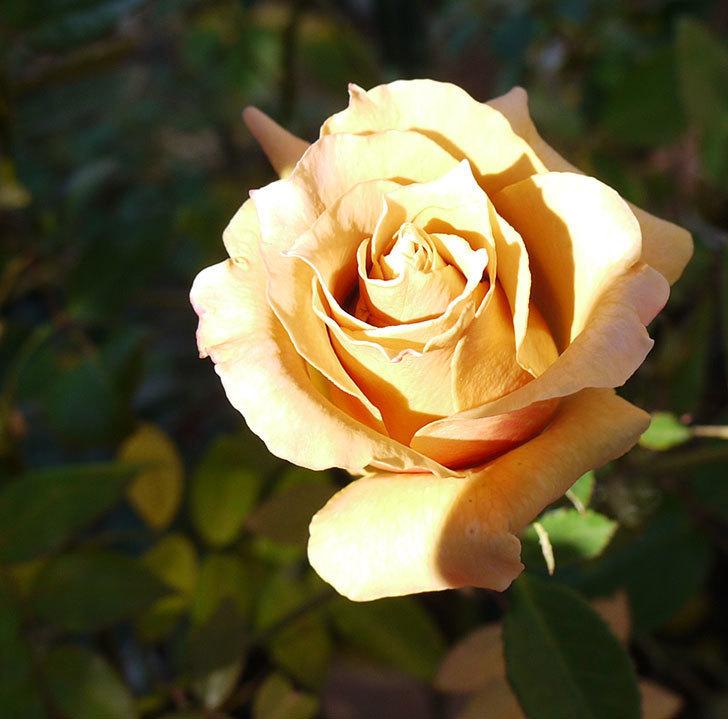 蕾を摘み忘れたはつね(木立バラ)の花が綺麗に咲いた。2017年-1.jpg