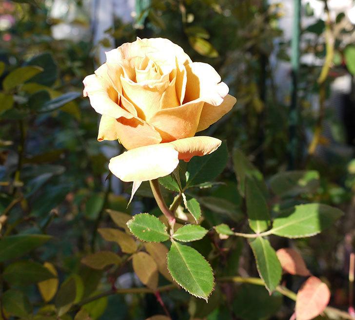 蕾を摘み忘れたはつね(木立バラ)の花が綺麗に咲いた。2017年-2.jpg