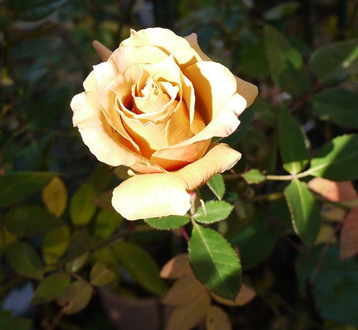 蕾を摘み忘れたはつね(木立バラ)の花が綺麗に咲いた。2017年-3.jpg