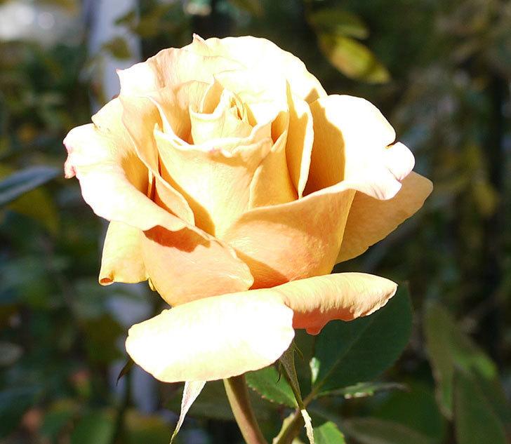 蕾を摘み忘れたはつね(木立バラ)の花が綺麗に咲いた。2017年-5.jpg