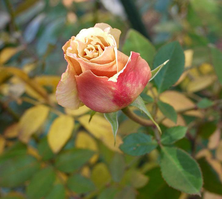 蕾を摘み忘れたはつね(木立バラ)の花が開いてきた。2017年-1.jpg