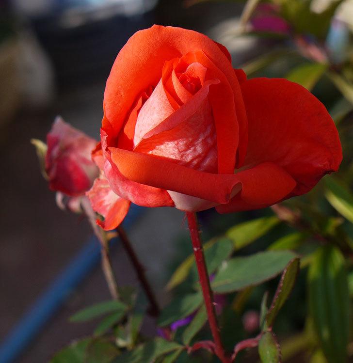 蕾を残していたローラ(木立バラ)の花が少し咲いた。2017年-1.jpg