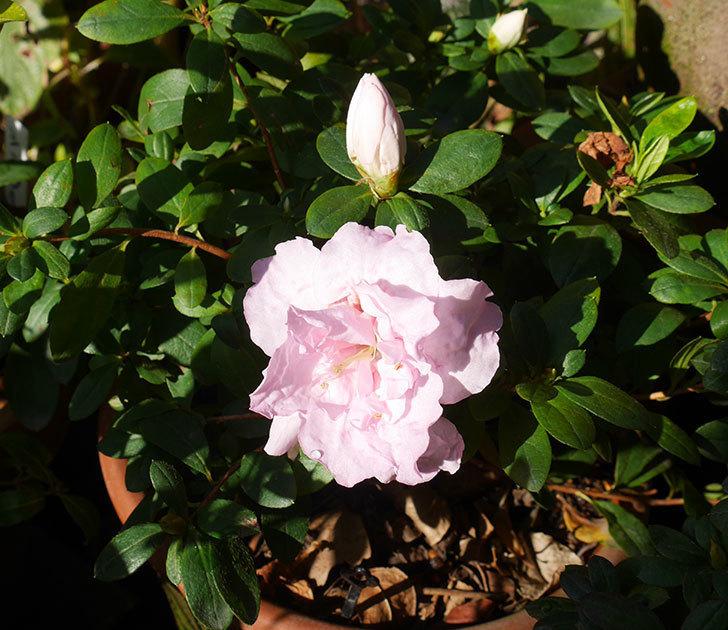 薄いピンクのアザレアが咲いた。2020年-1.jpg