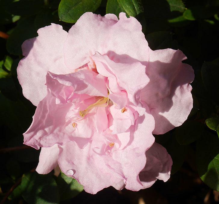 薄いピンクのアザレアが咲いた。2020年-2.jpg