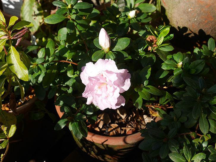 薄いピンクのアザレアが咲いた。2020年-3.jpg