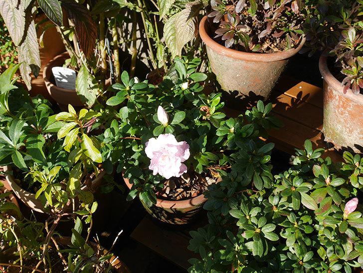 薄いピンクのアザレアが咲いた。2020年-4.jpg
