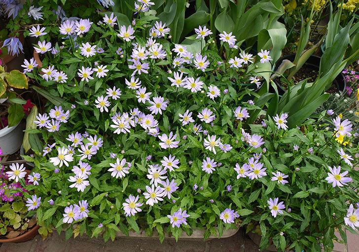 薄い紫のミヤコワスレ(ノシュンギク)の花がたくさん咲いた。2016年-1.jpg