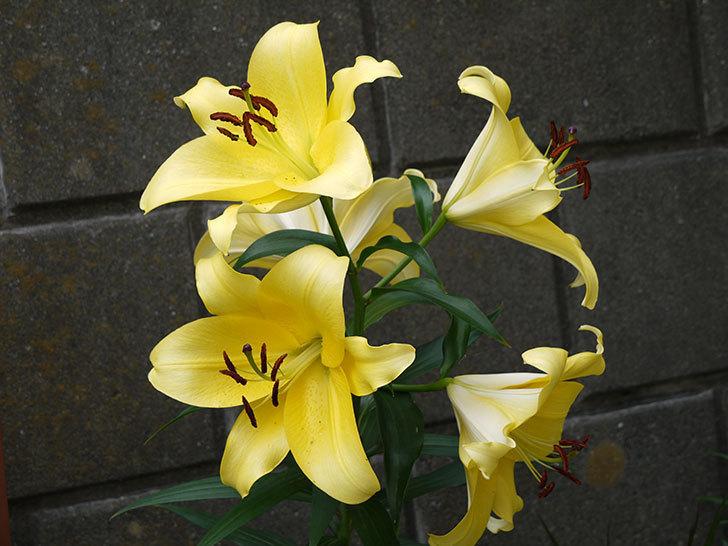 薄い黄色のユリがたくさん咲いた。2015年-1.jpg