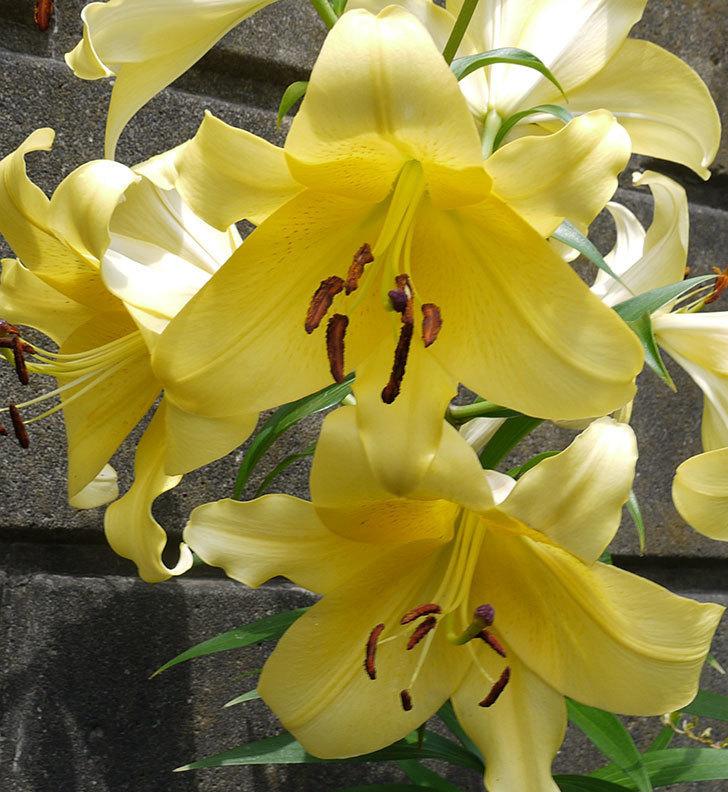 薄い黄色のユリがたくさん咲いた。2016年-2.jpg